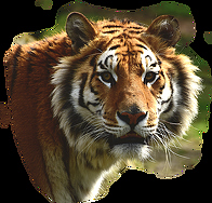 striped-tiger-2873x2748_94516