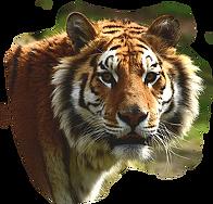 striped-tiger-2873x2748_94516
